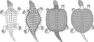 From the Royal Society, a graphic showing how a 2008 fossil discovery demonstrates the link between the modern turtle and its ancient ancestors.  Is there a sufficient theological reason to reject mainstream science, or Biblical reason to accept it?