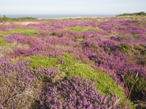 "The purple wildflower, heather, covers much of rural Scotland. In early medieval times, a person living among these heather fields, was considered to be a ""heathen,"" or ""from the countryside."" However, in Christian usage, the term has taken on a number of meanings, sometimes controversial."