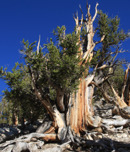 Bristlecone Pine, with tree rings dating back even to thousands of years.