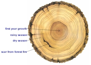 A tree ring sample.